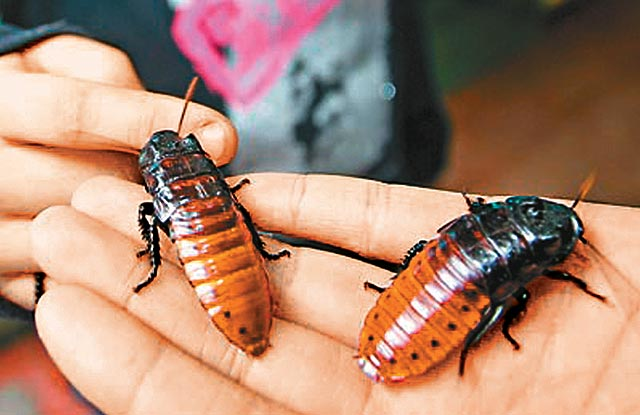 Chinese Roaches... Terror or New Pet? picture