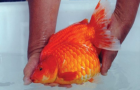 China Crowns the World's First Goldfish Beauty Pageant Winner: