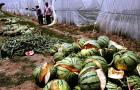 Agricultural Disaster in China: Exploding Watermelons: