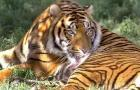 Rare Tiger Slaughtered—Right in the Zoo!: