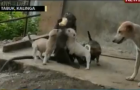 Philippines Monkey Adopts Puppies: