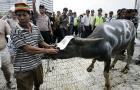 Indonesia Bans Buffalo From Public Rallies: