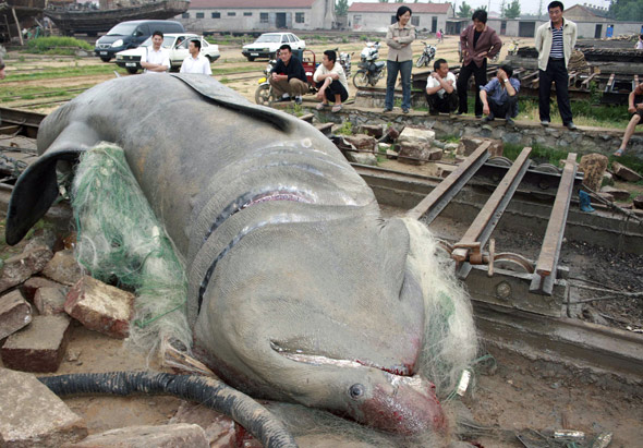 Mammoth 5 Ton Shark Caught in China picture