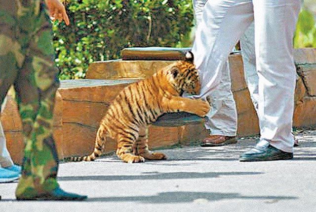 Please Adopt Our Siberian Tiger