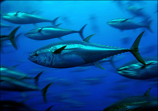 bluefin-tuna.jpg