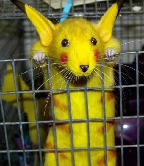 pokemon-rat Real Life Pikachus Auctioned for $925 Million picture