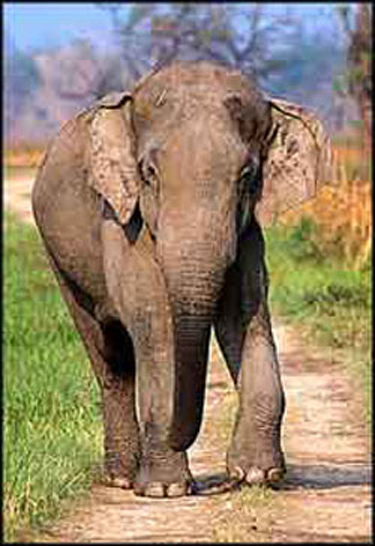 Indian Elephant Bandit: Not Armed But Dangerous  picture