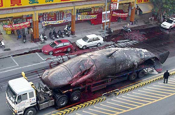 Taiwanese Whale Explosion... Literally picture
