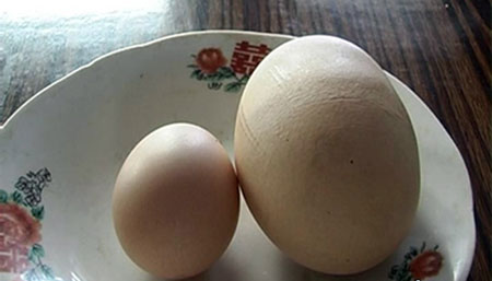 Ordinary Hen Lays Worlds Biggest Egg picture