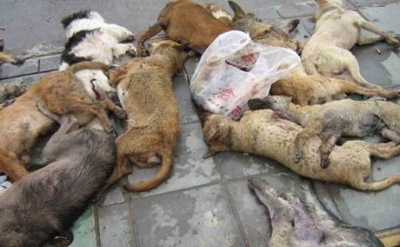 36,000 Stray Dogs Killed in China  picture