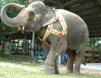 prosthetic leg 3 Legged Elephant Gets Prosthetic Leg picture