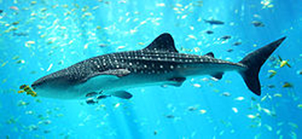 whaleshark11 The World's Smallest Whale Shark picture