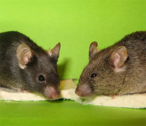 Mice Cloned from Skin Cells picture