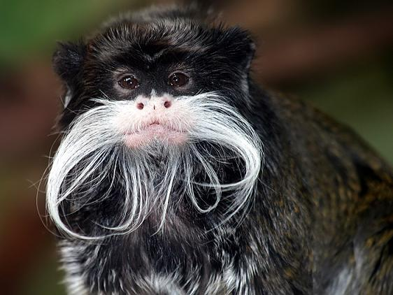 Tamarin Monkeys Rock Out To Metallica picture