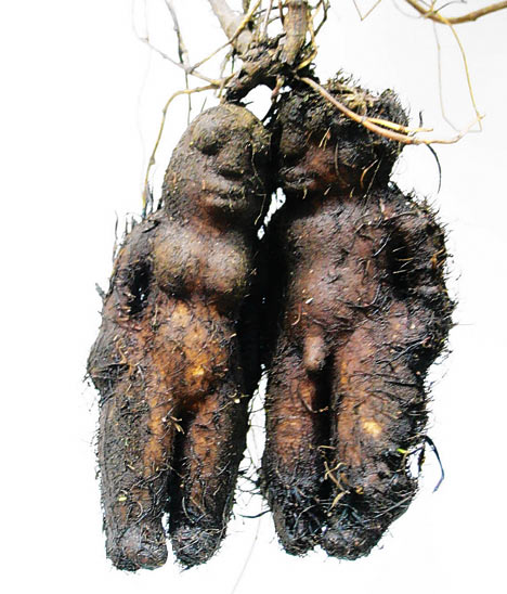 Chinese Farmer Discovers a Knotty Vegetable Man picture