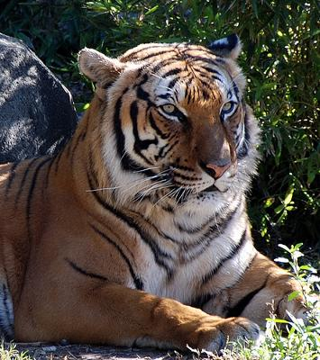 indochinese tiger Man Jailed For Eating Rare Tiger picture