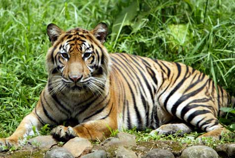 Indonesian Government to Start Selling... Tigers? picture