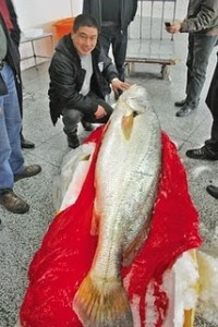 Endangered Fish Sells For $500k In China picture