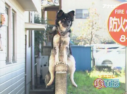 Japanese Sitting Dog Assumes Meditative Pose picture