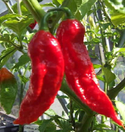 Bhutjolokia Scientists Perfecting the First Ever Nontoxic Chili Grenade picture