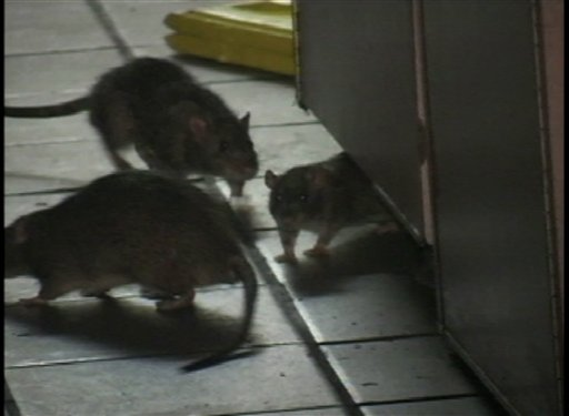 Hungry Rats Eat Ungraded University Exams picture