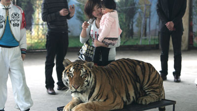 Chinese Zoo Tigers Are Upfront and Personal With Visitors  picture