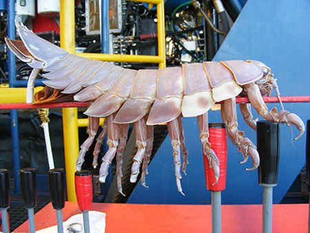 giant isopod  Giant Isopod Found Attached To Underwater Robot picture