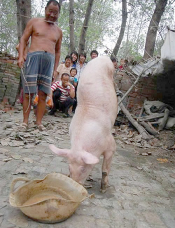 pig2 Pig Born Without Back Legs: A Balancing Act Like No Other picture