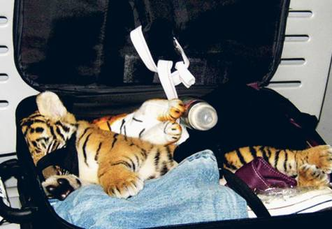 Tiger Cub Thai Woman Attempts to Smuggle Tiger Cub Through Airport Security picture