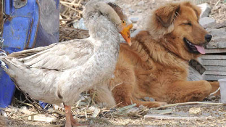 Dog and Goose: Unlikely Loving Friends picture