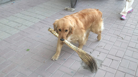 dogsweeper Golden Retriever Loves to Clean Chinese Streets picture
