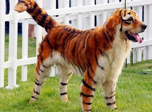 Image of: Domesticated Pets Times Now Chinese Dye Dogs To Look Like Wild Animals