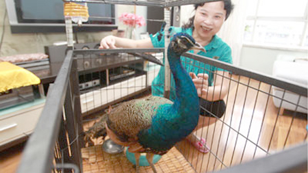 China Surprise: Peacock Flies Into Apartment Window picture