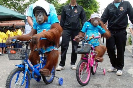 Orangutang e1319533556552 Orangutans and Road Safety: Monkey See, Monkey Do? picture