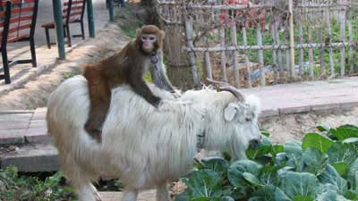 Monkey Rides Goat, Steals Chinese Farmer's Crops picture