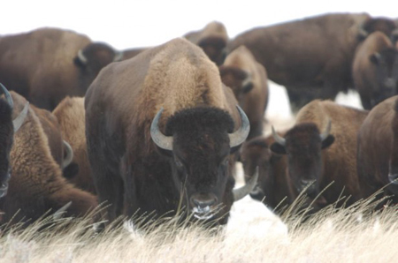 Indian Buffalo Campaign: Hype or Real Concern? picture