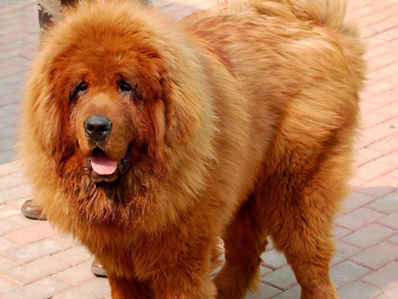 Image Result For Tibetan Dog