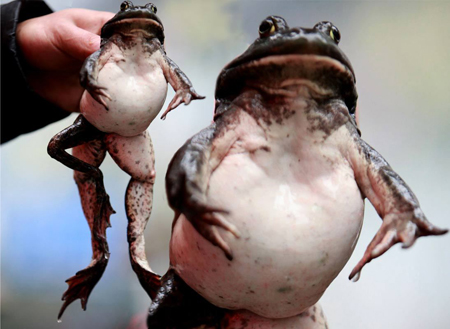 Five legged Frog Saved from Chinese Cooking Pot picture