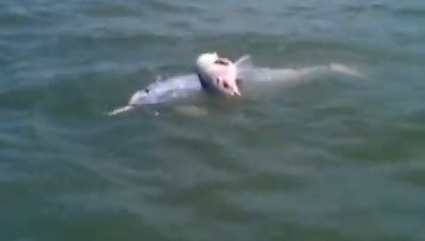 Mother Dolphin Carries Dead Baby on Her Back for Several Days picture