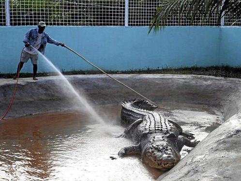 Monstrous Philippines Crocodile Gets Guinness Nod picture