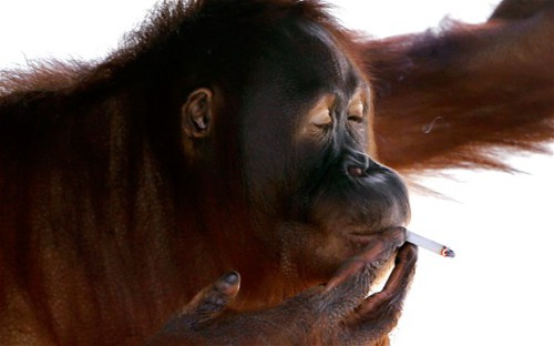 orangutan 500x312 Smoking Orangutan to Be Pulled from Zoo picture