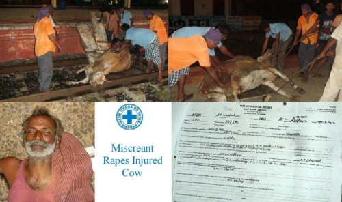 Indian Man Rapes Injured Cow picture