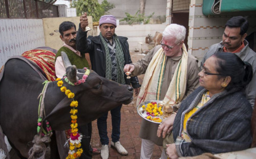 Holy Cow! Hindu Cult Promotes Drinking Cow Urine picture