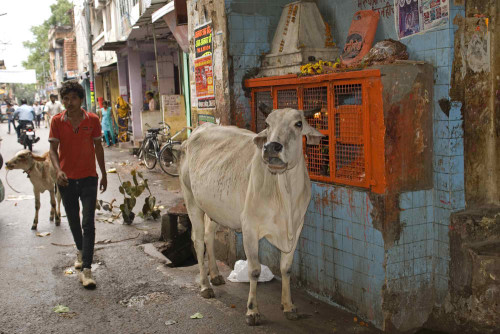 Indian Cows Producing Contaminated Milk picture