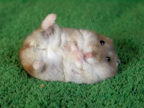 Hamster Butts: The Newest Craze in Japan