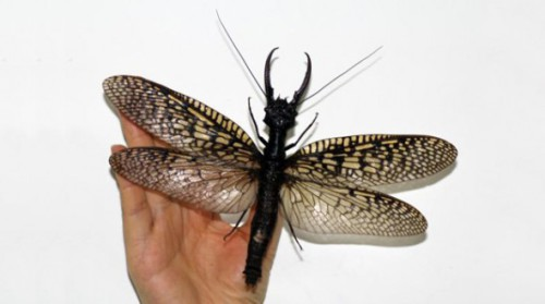 Giant Dobsonfly Found in China