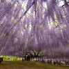 Take a Look at Japans Largest Wisteria Plant picture