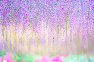 oldest-wisteria-tree-ashikaga-japan-8
