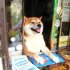 dog-opens-counter-window-shiba-inu-doge-3