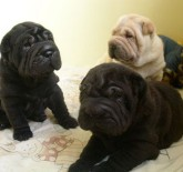 Three cute Shar Pei puppies